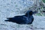Carrion Crow, Hashiboso-garasu