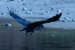 Carrion Crow after bath