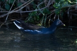Common Gallinule, Ban