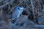 Gray Heron, Ao-sagi