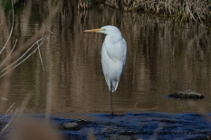 Great Egret, Dai-sagi