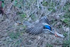 Spot-billed Duck, Karu-gamo