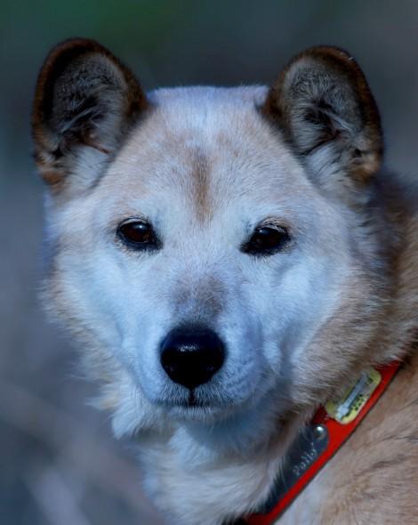 Tabi, Shiba-Beagle?