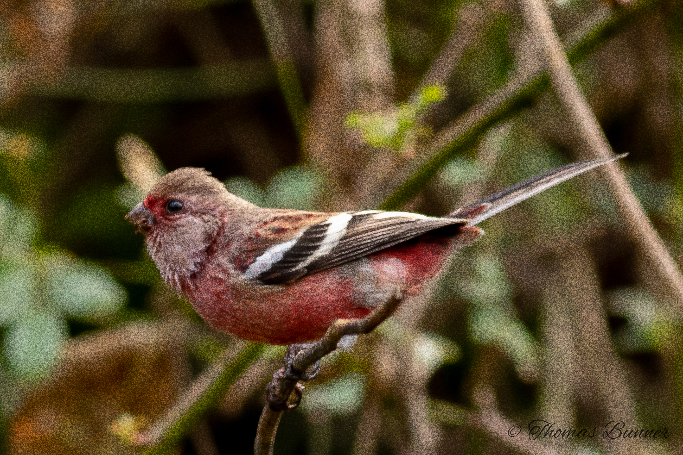 Long-tailed Rosefinch Beni-mashiko