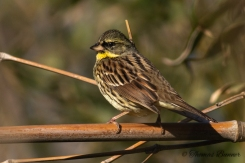 Black-faced Bunting - Aoji