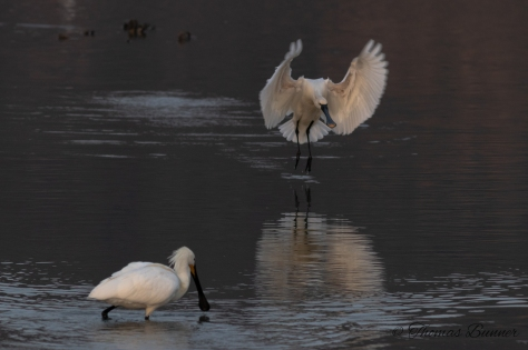 Black-faced spoonbill 2