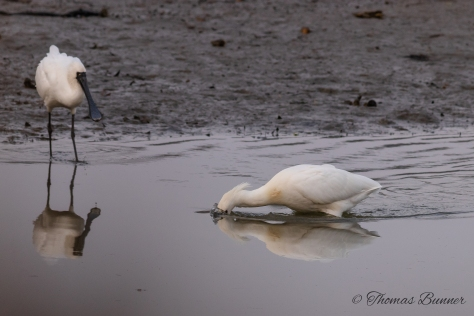 Black-faced spoonbill 3