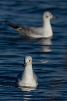 Black-headed Gull - Yuri kamome