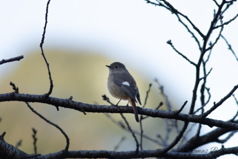 Darian Redstart, female
