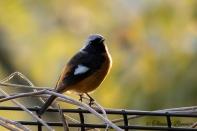 Daurian Redstart - Joubitaki