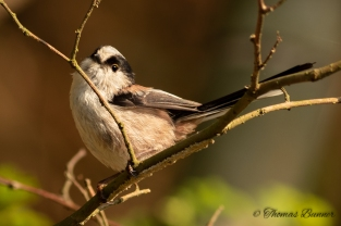 Long-tailed Tit - Enaga