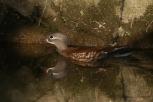 Mandarin Duck (female) - Oshidori