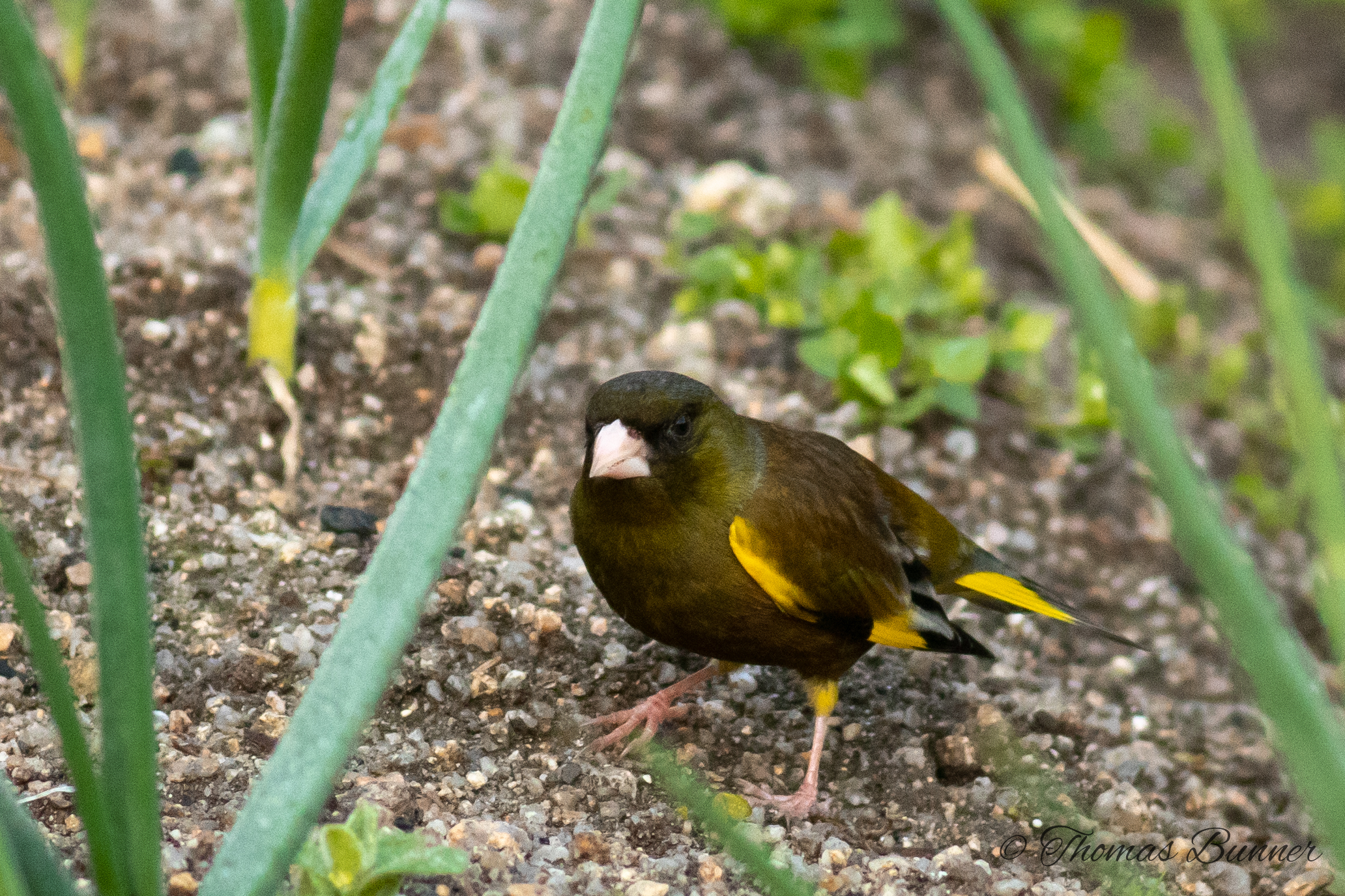 Oriental Greenfinch, onion garden 2