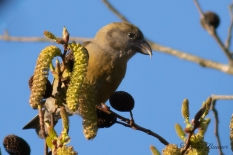 Red Crossbill - Isuka