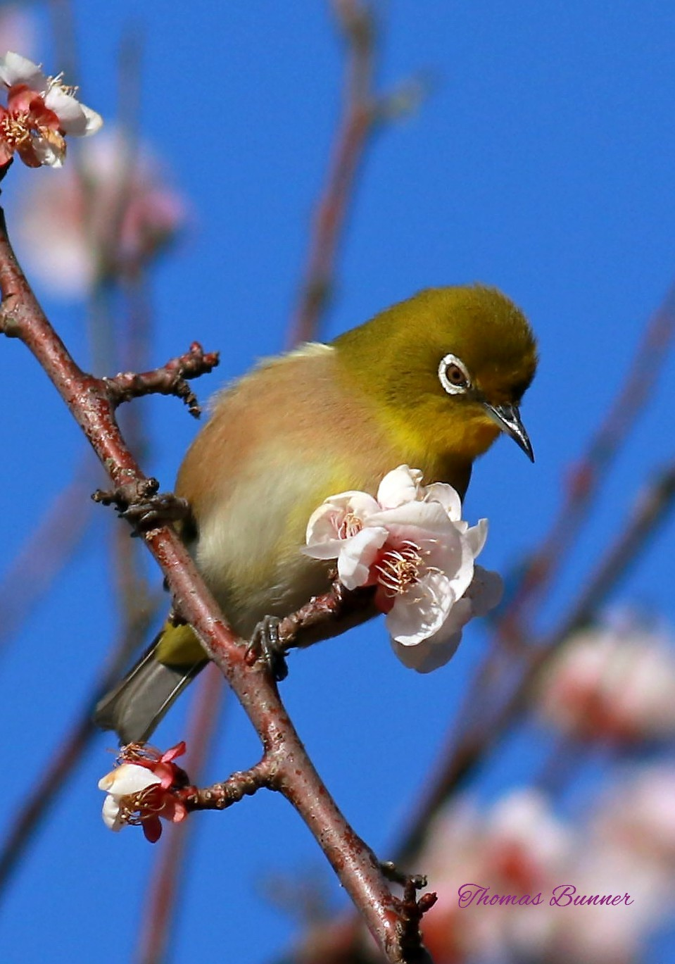 White-eye on plum blossom