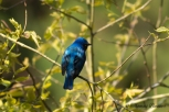 Blue and White Flycatcher, Oruri