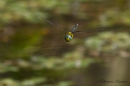 Dragonfly, Tombo