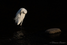 Little Egret, Kosagi