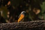 Daurian Redstart (Joubitaki)