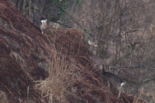 Doe and yearlings foraging