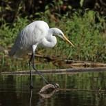 Great Egret, Daisagi