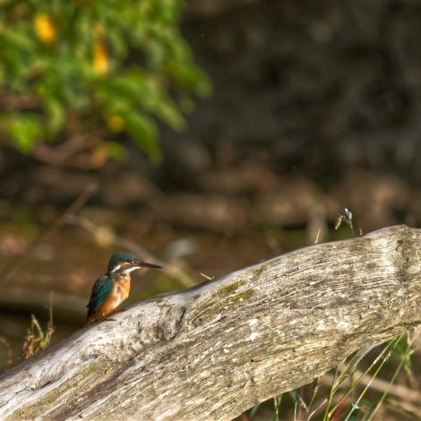 Common Kingfisher, female